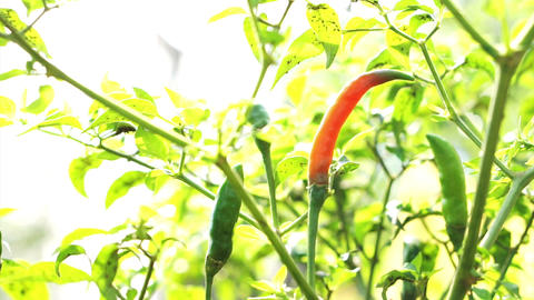 Organic Spicy Red Cayenne Chilli Pepper Ripe Up On Plant. Red Contrast On Green  stock footage