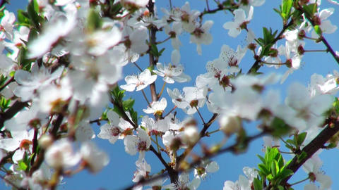 Flowers Cherry Tree, Flowers Cherry Tree, Focus To The Foreground stock footage