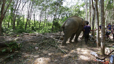 Elephant Pulling A Full Tree stock footage