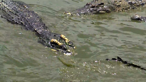 Two Large Crocodile In The Water stock footage