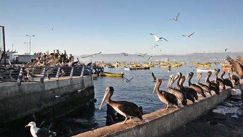 Pelicans In A Harbor stock footage
