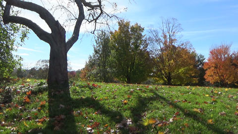 Sunny autumn landscape with a scary-looking tree and falling leaves in the park Footage