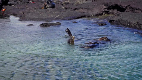 Sea Lions in Shallow Water Footage