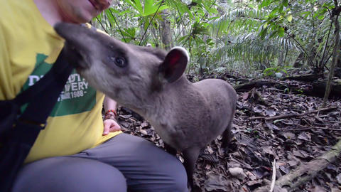 Tapir Playing with a Tourist Footage