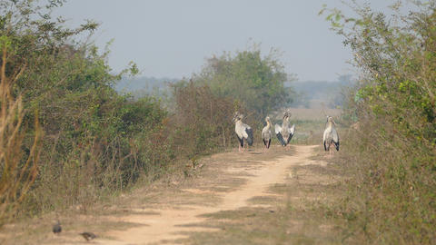 Group Of Asian Openbill Storks Standing At A Path In Cambodia stock footage