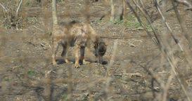Injured Wolf Baby in Captivity Footage