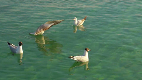 Seagulls Floating On The Water stock footage