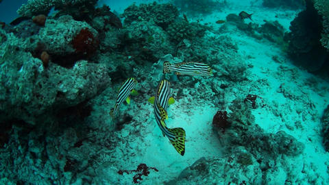 Oriental Sweetlips stock footage