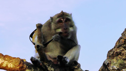 Monkey Is Sitting In A Tree And Nibbling Stolen Glasses stock footage