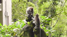 Two Little Monkeys Are Playing, Ubud, Bali stock footage
