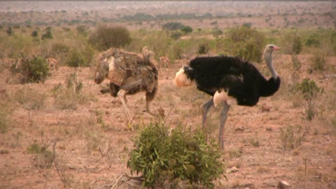 Ostriches stock footage