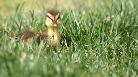 Duck Baby In Grass Footage
