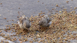 New York City 552 Birds Are Pecking Corns On The Street stock footage