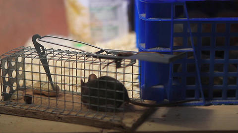 Young House Mouse Stealing A Peanut Out Of A Trap stock footage