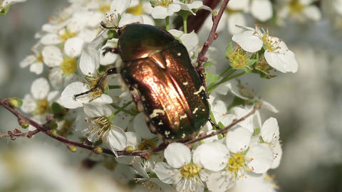 Close Up Of A Rose Chafer Feeding On Blossoms stock footage