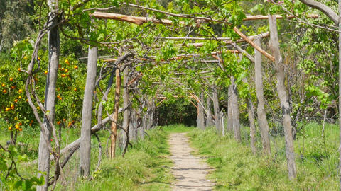 Zoom out vineyard footpath, passing through path Footage