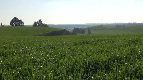 Cereal Cultivated Hill On A Sunny Spring Day stock footage