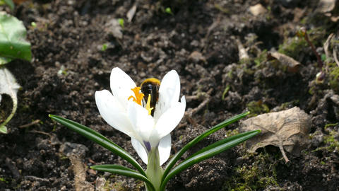 Bee And White Flower On The Ground In The Spring stock footage