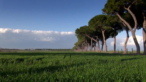 Roman Rural Pine Road Near Cereal Field stock footage