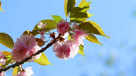 Oriental Cherry Flowers stock footage