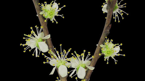 Time-lapse of blooming plum tree branch in RGB + ALPHA matte format Footage