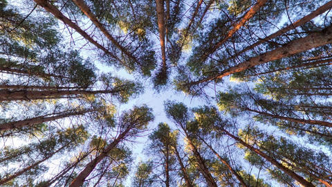 Looking up into pine forest canopy Footage