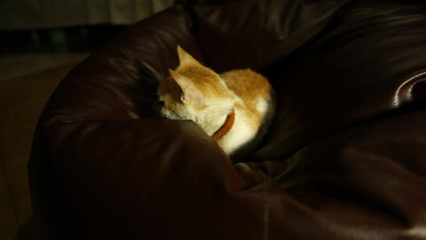 Cat Sitting On Sofa At Home stock footage