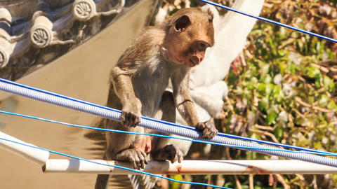 Monkey Sits on Electric Wires by House Roof Footage