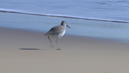 Seagull Finds Fish On Beach And Eats stock footage