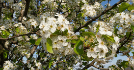 4K Tree Blossoms Detail 4269 stock footage