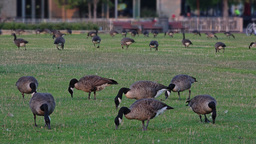 Flock Of Geese Graze In Pittsburgh Lawn stock footage