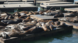 Sea Lions at Pier 39 in San Francisco Footage