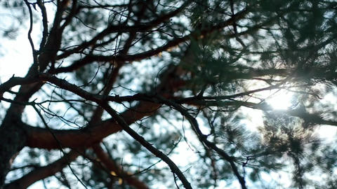 Rays of Sun Shines Through Branches of a Pine Footage