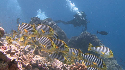 Underwater Videographer, Shooting Colorful Fish Swwetlips. Diving On The Reefs O stock footage