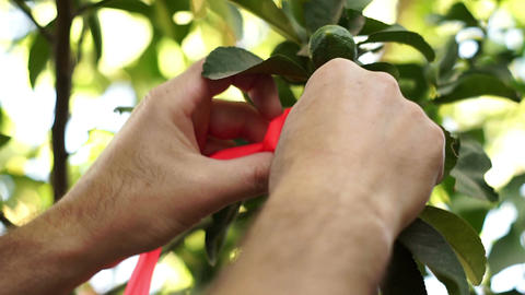 Agriculture Grower Ties Ribbon To Citrus Tree Branch stock footage