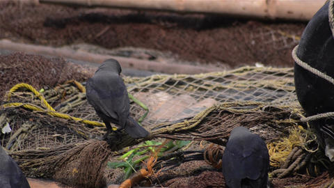 Mid Close Of Crows Sitting Over Fishing Net For Fish stock footage