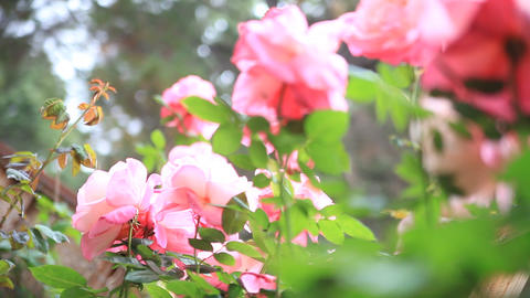 Rose Garden From Low Angle stock footage