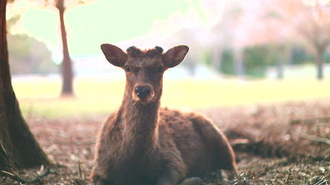 Deer 2 stock footage