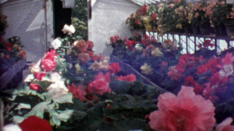 1964: Glass Professional Greenhouse Rose Flowers In Full Bloom stock footage
