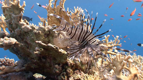 Lionfish, Gracefully Floating Over A Coral Reef stock footage