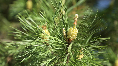 Young growing cone on the pine Footage