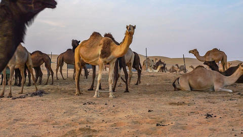Camels In The Desert Of Abu Dhabi stock footage