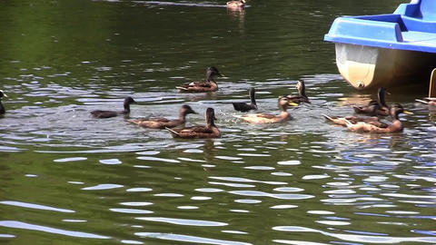 Child Who Throw From The Boat They Stay Food To Ducks Swimming On The Lake Green stock footage