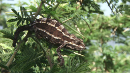 A Cameleon Holding On To A Branch With All Four Legs And A Tail stock footage