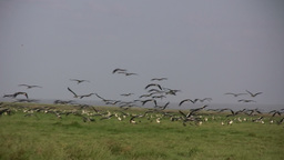 A flock of white storks arrive in africa Footage