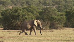 A lame elephant drags his leg as he walks across the camera Footage