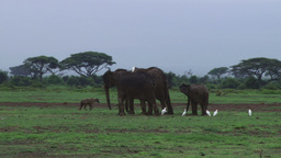 A hyena passes through a group of elephants Footage