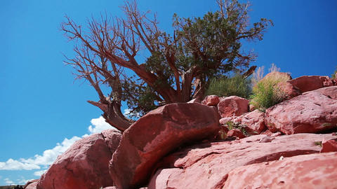 Old tree in the grand canyon Footage