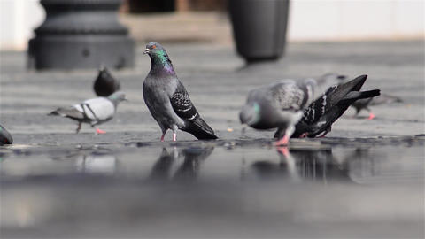 Pigeons Sitting In The Central Square Watch Drink Water While People Pass By The stock footage