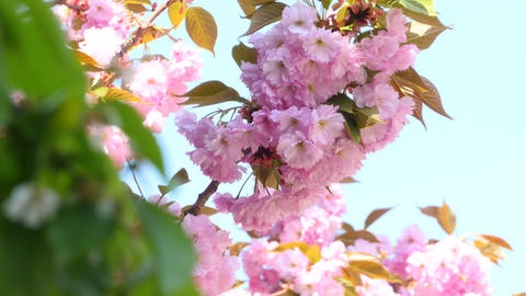 Sacura Blossom Inflorescence stock footage